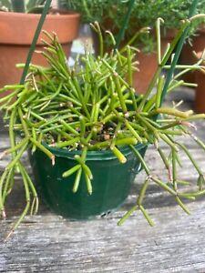 Rhipsalis floccosa Jungle Cactus Succulent hanging basket