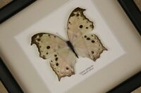 Salamis parhassus - echter Schmetterling im Schaukasten/Rahmen hinter Glas