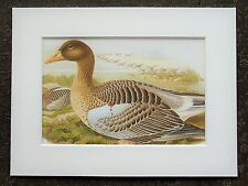 John Gould - 1970s Vintage Mounted Colour Bird Print - Greylag Goose (8)