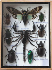 REAL RARE EXOTIC INSECT DISPLAY SCORPION JEWEL BEETLE BUG CICADA TAXIDERMY GIFT