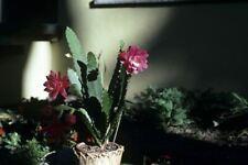 Nopalxochia ackermannii - Beautiful Jungle Cactus - 25 Seeds
