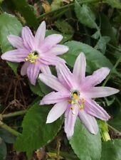 Curuba - banana - maracuya passiflora mollissima  FRUTA comestible 20 semillas