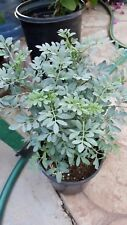 """Ruda Plant - Common Rue Herb of Grace - 8"""" to 1 Feet Tall - Ship in 1 Gal Pot"""