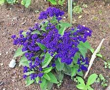 50 BLUE MARINE HELIOTROPE Heliotropium Flower Seeds