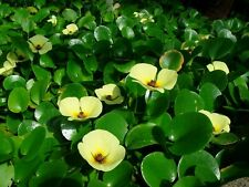 Live Water Poppy Aquatic Tropical Marginal/Surface Pond Plant