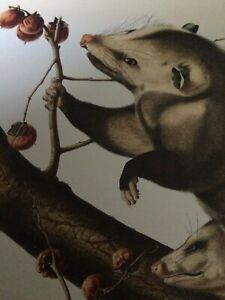 "Virginian Opossum Audubon Print 10"" x 13"" Lithograph Plate LXVI"