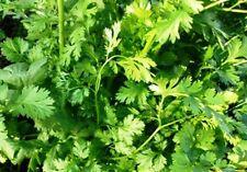 CORIANDER 50 seeds herb garden EASY TO GROW corriander culinary herb vegetable