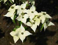 Samen Cornus kousa var. chinensis 'Milky Way', Chinesischer Blumen-Hartriegel