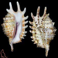 Lambis Ophioglossolambis violacea - 126.3 mm, Mauritius, Strombidae sea shell