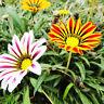 50 Stück Bunte Gazania Gazania Seeds Garten-Blumen-Samen w/ H5D8