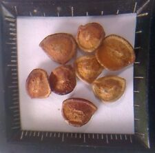 50 Seeds Karanda, Karamda (Carissa carandas)ม Tropical seeds from Thailand