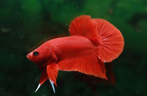 Live Betta Fish Pair of Single Color Black White Red Male And Female
