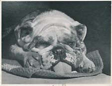 BULLDOG c. 1950 - Chien  Grand Format - CH 28