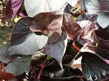 "IPOMOEA SWEET POTATO VINE - DESANA BLACK  - 2 PLANTS - 3"" POTS"