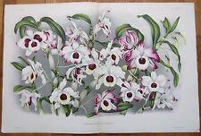 Linden Lindenia Large Double Page Print Orchid Dendrobium nobile - 1888