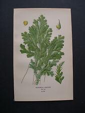 1896.Edward STEP:SELAGINELLA...ORIGINAL BOTANICAL.PRINT