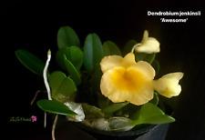 Dendrobium jenkinsii - Orchid Plant