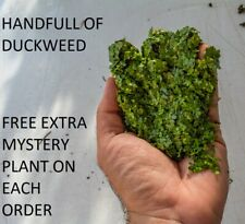 1 Handful o duckweed live plants Organic no chemicals tank raised Turtle food