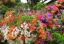 10 semillas Bougainvillea  color mixta