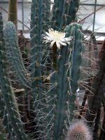 Stetsonia Coryne,PLANT,Specimen,sized,BLUE,Cactus,NO,Trichocereus, Lobivia