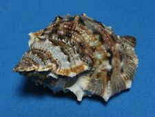 "Bufonaria (Bursa) crumena (Lamarck,1816) ""EXTREME COLORS!""  61.2mm)"