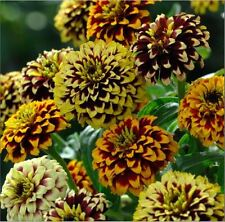 Flower - Kings Seeds - Picture Packet - Zinnia haageana - Jazzy Mixed - 100 Seed