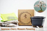 Japanese Cherry Blossom Flowering Bonsai Seed Kit Gift Complete Kit to Grow GIFT