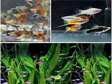 X10 MALE GUPPY - x10 FEMALE GUPPY - x10 TETRA - x10 SWORDTAIL FISH PACKAGE