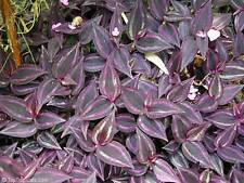 "12 Wandering Jew Plant Cuttings 4"" to 6"" long"