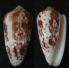"""CONUS FLOCCATUS, """"VERY LARGE"""", 63MM, F++, SUPERB PATTERN AND COLOR"""
