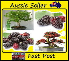 Mulberry Fruit Seeds DIY Home Bonsai Morus Nigra Tree, Black Mulberry 200 Seed