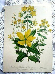 Original Antique 19th C Victorian Vintage Print St Johns Wort Jane Loudon
