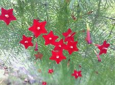 Red Velvet Cypress Vine Ipomoea quamoclit 100 Seeds  Hummingbird Attractant