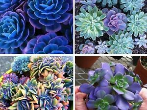 Japanese Succulents Seeds Rare Indoor Flower Mini Cactus Seeds 25+ NO CHINA SEED