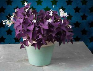 Purple Shamrock - Oxalis triangularis Bulbs Easy Grow Perennial Love Plant