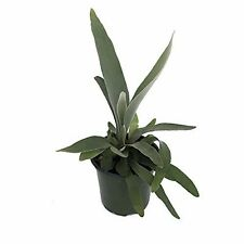 "Plant French Staghorn Fern - Platycerium lemoinei - 4"" Pot Indoor Houseplant New"