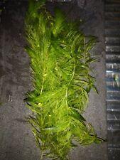PLANTE CERATOPHYLLUM DEMERSUM 15 brins de 20cm