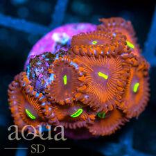 New listing Asd - 096 Meatballs Zoanthids - Wysiwyg - Aqua Sd Live Coral Frag
