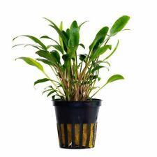 CRYPTOCORYNE LUCENS 1 POT -Freshwater Aquatic Live Plants SUPER PRICE !!!!!!