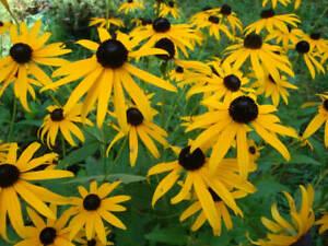 Rudbeckia Goldstrum - Black Eyed Susan - 100 Seeds - Coneflower- Hardy Perennial