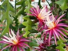 20 pc. Rare Cactus Flower plants Japanese Epiphyllum Succulents seeds. # 164