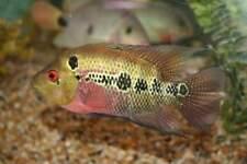 "2-3"" King Kong Parrot / Red Monkeyface Flowerhorn Hyrbid Cichlid live fish TFC"