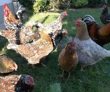 6- fach Bio Kräuter Wurmkur Entwurmung Geflügel Hühner Puten Gänse Enten 50 g