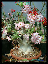 AA 20 ADENIUM ARABICUM DESERT ROSE ❀ YEMEN ❁ HOUSE PLANT BONSAI SEEDS ⊰✾