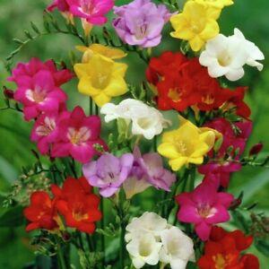 10 FREESIA SINGLE MIXED COLOUR GARDEN SUMMER STRONG FRAGRANT FLOWER  BULBS PLANT