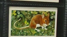 #33 the long-tailed field mouse or wood mouse card
