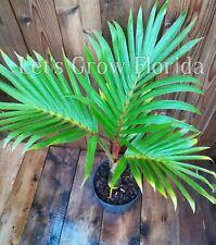 "Hyophorbe lagenicaulis 3 Gal / 10"" pot 'Bottle' Palm Tree Live Tropical Rare"