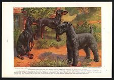 1936 Kerry Blue, Manchester Terriers Vintage Print Page Edward Herbert Miner Art
