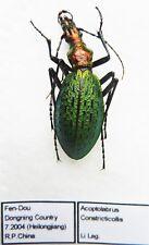 Carabus acoptolabrus constricticollis (female A1) from CHINA (Carabidae)