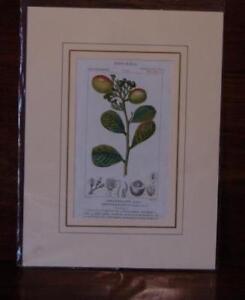 Botanica Crisobalano Icaco, Incisione originale colorata a mano d'epoca., Batell